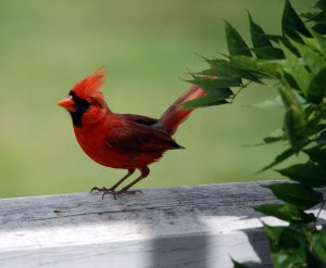 This image has an empty alt attribute; its file name is cardinal-picture.jpg